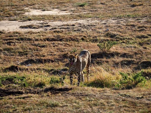 Guepardo en Masai Mara. Por María