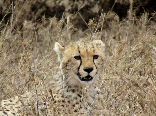 El guepardo. Por Marina