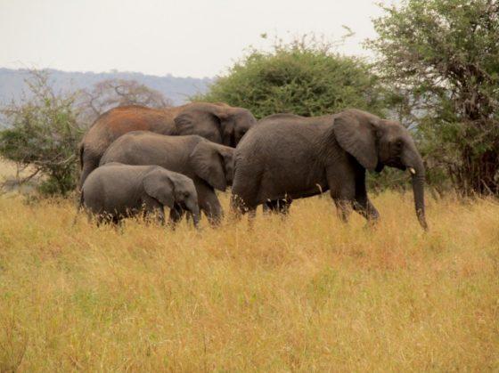 Familia de elefantes. Por Marina