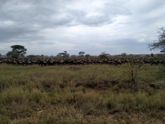 La migración en Serengeti. Por Ernesto