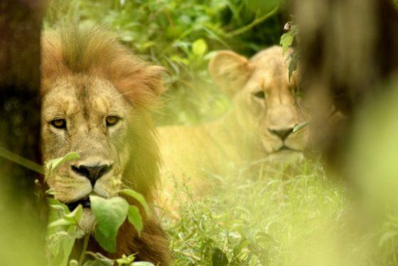 Pareja de leones en Ngorongoro. Por Wenceslao