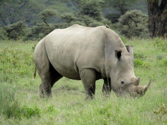 Rhinoceronte. Por Marina