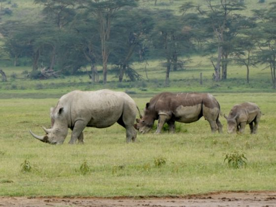Rinocerontes Nakuru. Por Iñaki