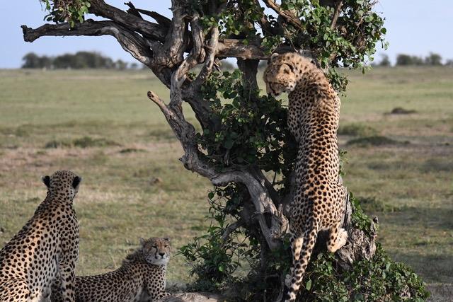 Hermanos guepardos aguardando la presa en la sabana. Por Cristina