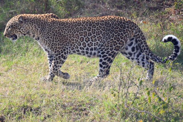 La magnífica estampa del Leopardo. Por Cristina