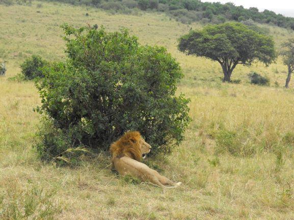 León descansando. Por Patricia