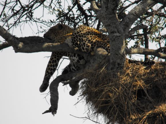 Leopardo descansando. Por Patricia