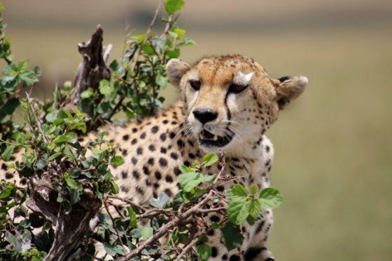 El elegante guepardo. Por Berta