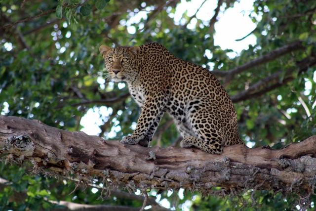 Leopardo al acheco. Por Marc