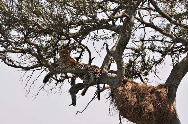 Leopardo subido en un árbol. Por María