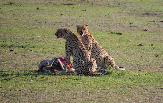 Pareja de guepardos en Masai Mara. Por María