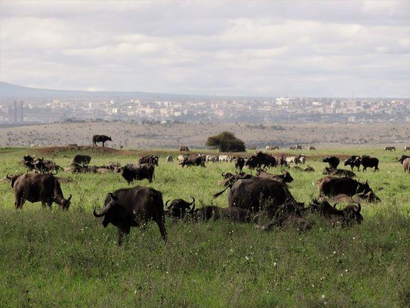Búfalos y cebras en el Parque Nacional de Nairobi. Por Udare