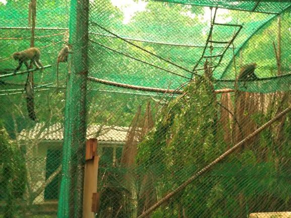 Colobus rescatados en Colobus Conservation ONG. Por Udare