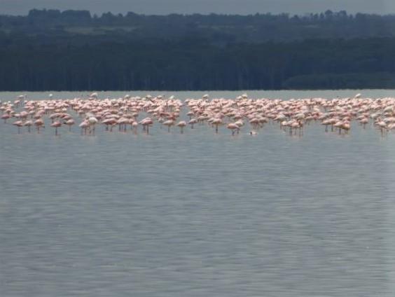 Flamencos rosas. Por Maritxu