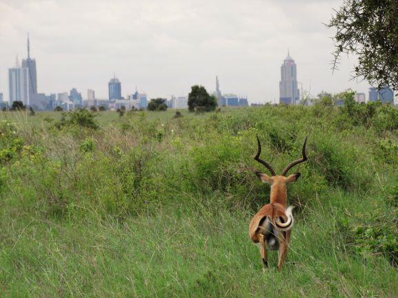 Impala en el Parque Nacional de Nairobi. Por Udare