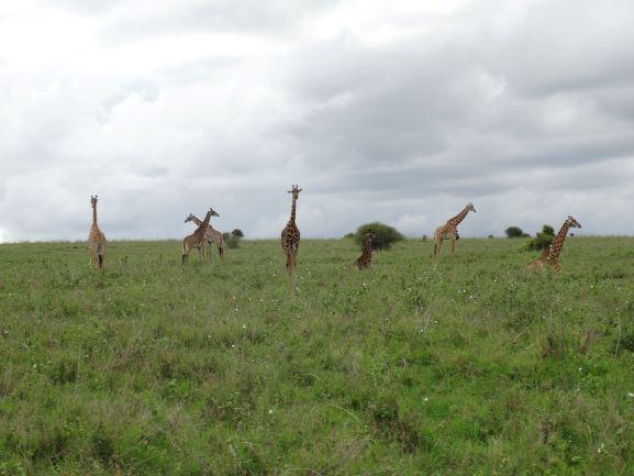 Jirafas en el Parque Nacional de Nairobi. Por Udare