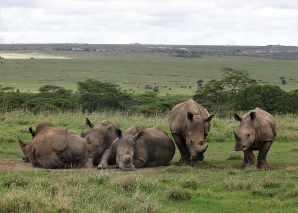 Rinocerontes en el Parque Nacional de Nairobi. Por Udare