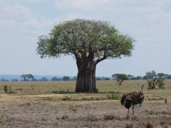 Baobab en PN Taragire. Por Suso y Anabel