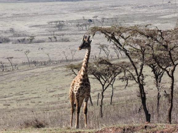 Jirafa en Crater de Ngorongoro. Por Suso y Anabel