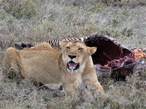 Leona en PN Serengeti. Por Suso y Anabel