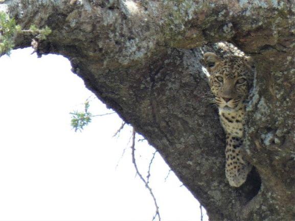 Leopardo en PN Serengeti. Por Suso y Anabel