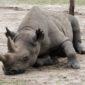 Rinoceronte blanco en Ol Pejeta Conservancy. Por Udare
