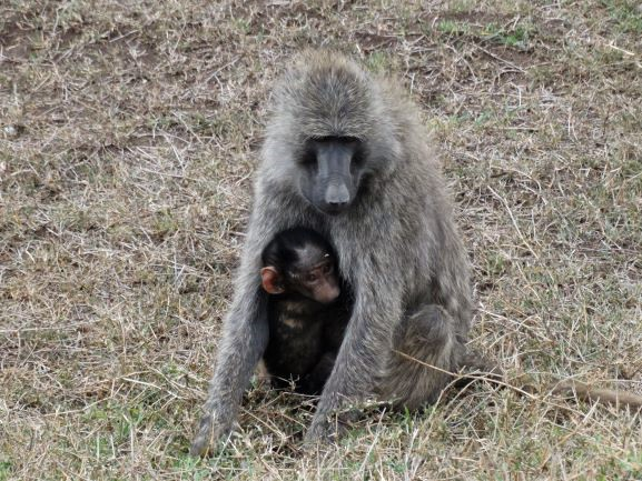 Babuinos, madre e hijo en Ol Pejeta Conservancy. Por Udare