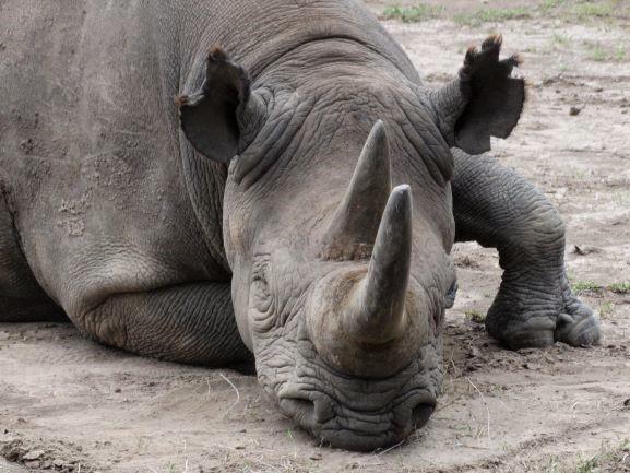 Baraka, rinoceronte negro en Ol Pejeta Conservancy. Por Udare