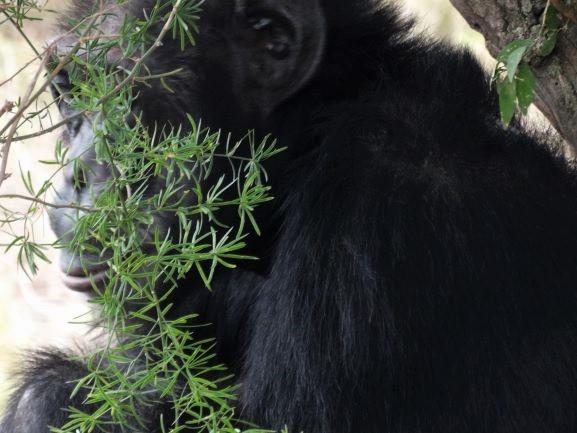 Chimpancé procedente de Burundi en Ol Pejeta Conservancy. Por Udare