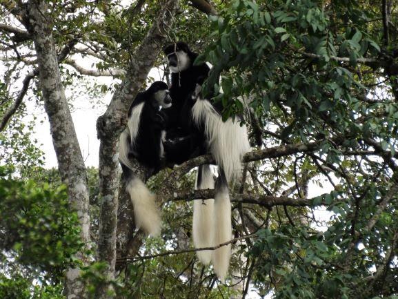Colobos en Parque Nacional Aberdare. Por Udare