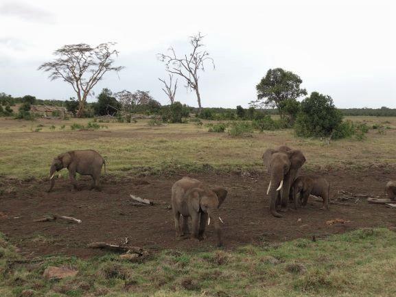 Elefantes en Ol Pejeta Conservancy. Por Udare
