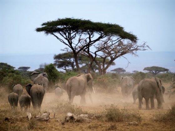 Elefantes en Amboseli, Kenia. Por Udare