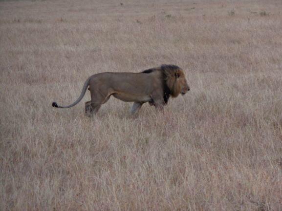 León único felino con bola en la cola. Por Udare