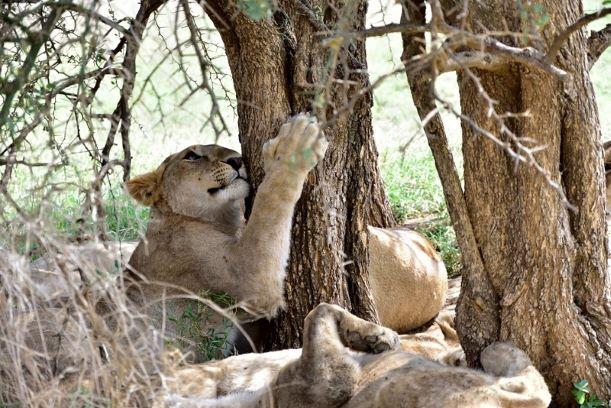 Leona rozándose en un árbol. Por Daniel