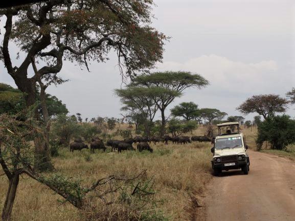 Avistamiento de manada de búfalos durante un safari en Serengeti. Por Udare
