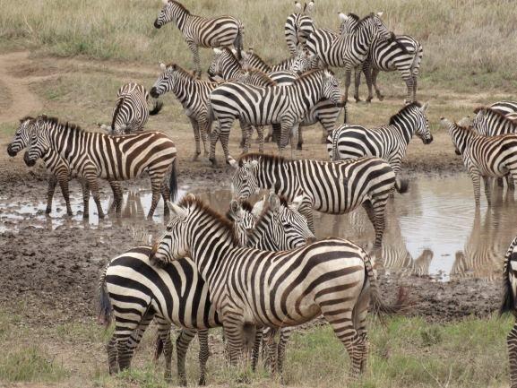 Cebra junto a otra en posición contraria en una manada. Por Udare