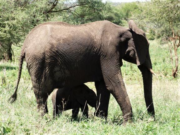 Cría de elefante bajo la sombre de su madre. Por Udare