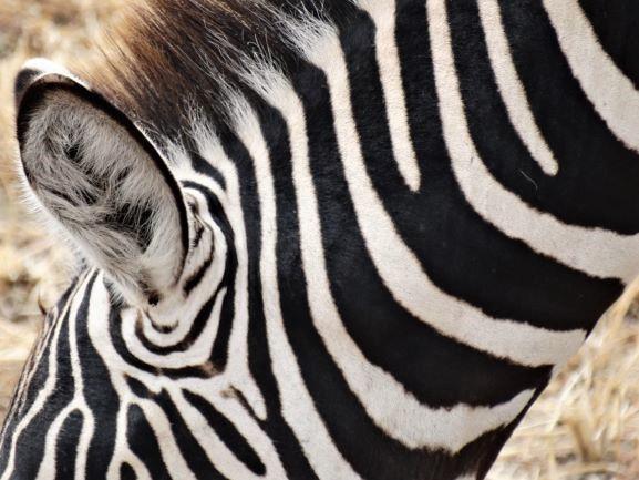 Detalle de la oreja de una cebra mientras pasta. Por Udare