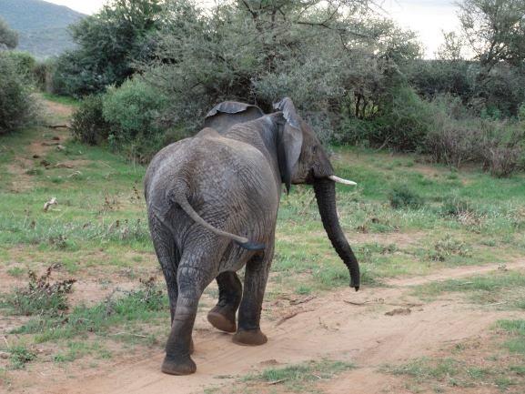 Elefante caminando en Samburu. Por Udare