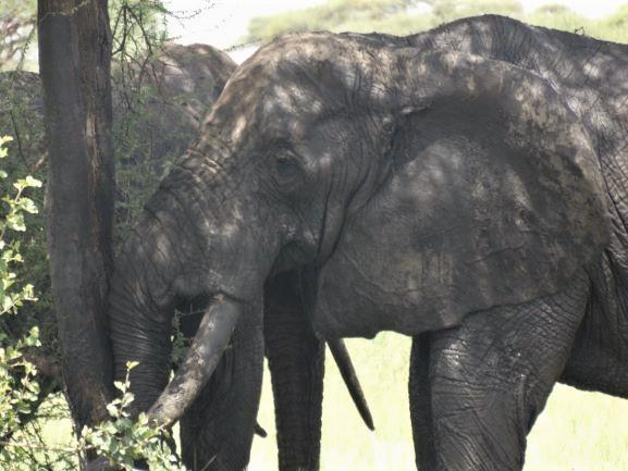 Elefante marcando un arból para establecer su territorio. Por Udare
