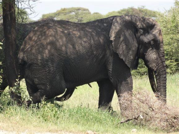 Elefante y sus cinco patas. Por Udare