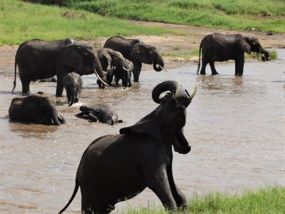 Elefantes bañándose en Tarangire. Por Udare