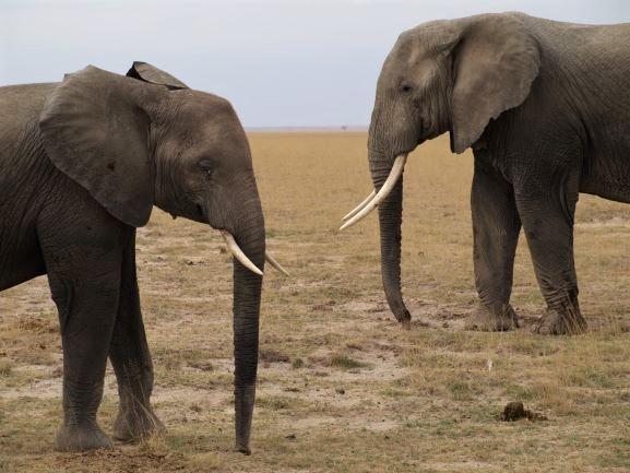 Elefantes con colmillos. Por Udare