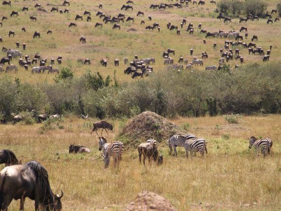 La Gran Migración de cebras y ñus. Por Udare