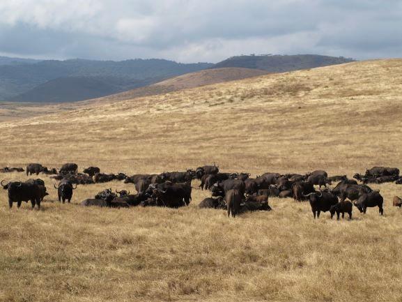 Manada de búfalos en Ngorongoro. Por Udare