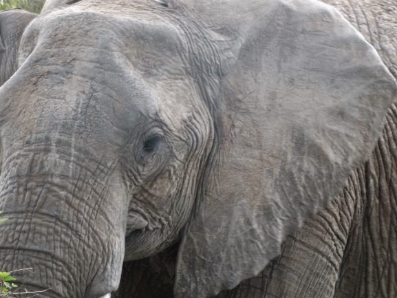Oreja de elefante con forma de África. Por Udare