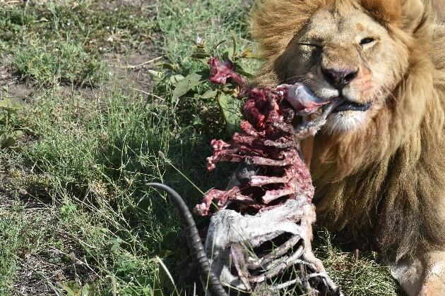 León alimentándose. Por Naiara