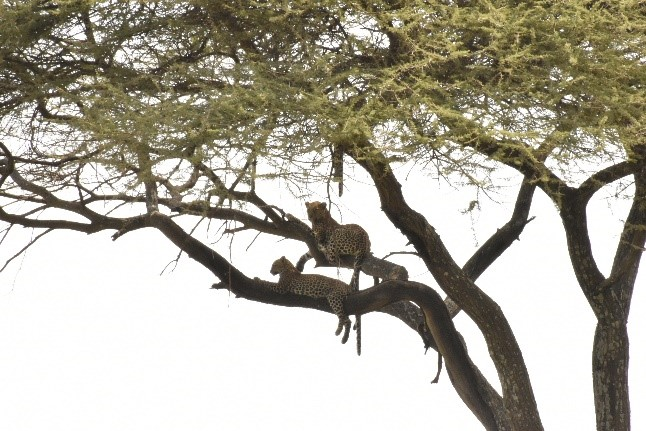 Leopardos oteando el horizonte. Por Naiara