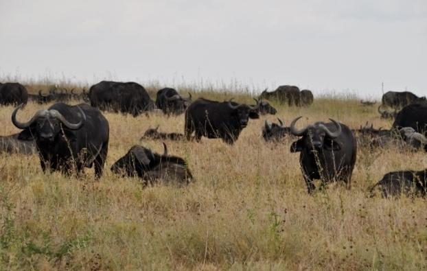 Búfalos en Serengeti. Por Marisa y Jose
