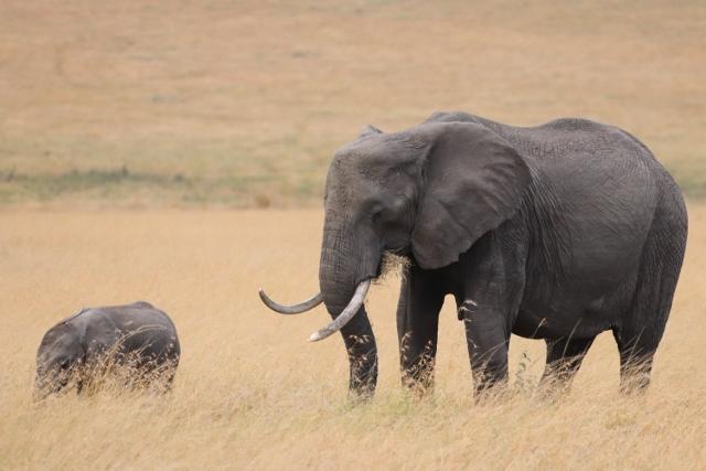 Elefantes en Masai Mara. Por Josep